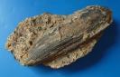 Gervillella aviculoides