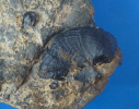 Nanogyra striata (SMITH 1817) (= Nanogyra virgula GOLDFUSS 1833)