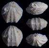Dictyothyropsis pectunculus (SCHLOTHEIM, 1820)