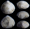 Monticlarella triloboides (QUENSTEDT, 1852)
