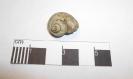 Ampullina globosa (Roemer 1836)