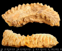 Actinostreon cf. gregareum (Sowerby,1815)