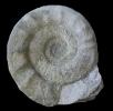 Pseudorthosphinctes sp.