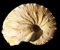 Taramelliceras costatum