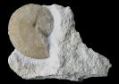 Streblites levipictus