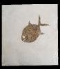 Gyrodus hexagonus BLAINVILLE 1834