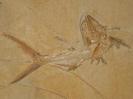 Sauropsis longimanus Agassiz, 1832