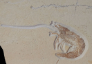 Antrimpos speciosis