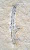 Brachyphyllum nepos
