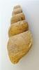 Bourgetia striata (SOWERBY)
