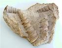 Nerinea tuberculosa (Roemer)