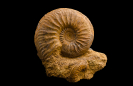 Ammonit Cardioceras sp.