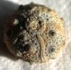 Pseudocidaris thurmanni