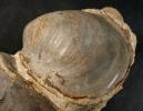 Auster mit Schale