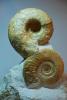 Aspidoceras und Progeronia