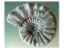 Pleuroceras salebrosum