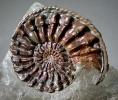 Pleuroceras cf. spinatum