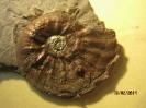 Amaltheus cf. gibbosus, irisierend