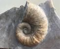 Lytoceras ceratophagum