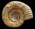 Catacoeloceras sp.