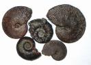 Einige Obertoarcium Ammoniten von Millau