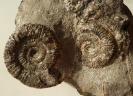 Dactylioceras sp.