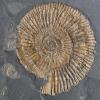 Dactylioceras commune
