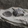 Ichthyosaurier-Phalangen (Paddelknochen)