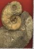 Lytoceras siemensi