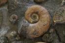 Lytoceras ceratophagum (Quenstedt)