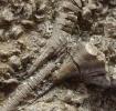 Seeililienkelch: Seirocrinus
