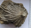 Seelilie: Seirocrinus