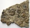 Ammonitenanreicherung im Lias Epsilon