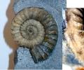 Ammonit, Arietenkalk - unbestimmt