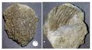 Seelilie Seiocrinus sp.