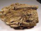 Seirocrinus sp.