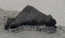 Haizahn: Acrodus anningiae