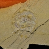 Heliomedusa orienta Sun & Hou, 1987
