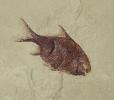 Aesopichthys erinaceus Poplin & Lund, 2000