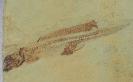 Heteropetalus elegantulus Lund, 1977