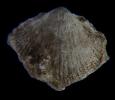 Brachiopode Argentiproductus margaritaceus (PHILLIPS, 1836)