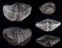 Brachiopode Atylephorus tornacensis (DE KONINCK 1883)