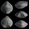 Brachiopode Composita ambigua (SOWERBY 1822)