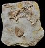 Macrocrinus mundulus, Agaricocrinus americanus, Actinocrinites gibsoni