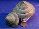 Leptomaria subgigantea