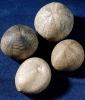 Echinocorys gravesi (Desor)