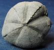 Micraster coranguinum