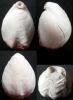 Boubeithyris diploplicata (OWEN, 1988)