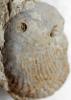 Oichnus simplex BROMLEY, 1981