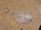 Thorectichthys rhadinus Murray & Wilson, 2013